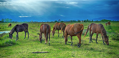 Freely living horses (Dimitil) Tags: greece hellas patoulia thessalicplain thessaly trikala adventure animal clouds cloudysky country countrylive county d4 environs horses likeoldtimes nikond4 rural rurallife ruralscene nature naturallife thesslay greecehellas