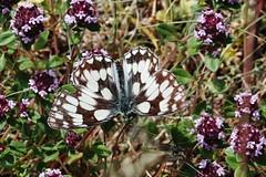 Melanargia galathea (Hugo von Schreck) Tags: hugovonschreck butterfly schmetterling macro makro insect insekt canoneosm50 melanargiagalathea tamronsp90mmf28divcusdmacro11f017