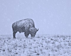 Bison in Snowstorm 8184 A (jim.choate59) Tags: jchoate on1pics snow blizzard buffalo rural americanwest winter enterpriseoregon cold d610