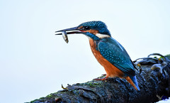 Kingfisher. (Explored). (spw6156 - Over 8,980,021 Views) Tags: kingfisher hard back light from water copyright steve waterhouse explored