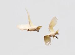 Little Corella (christinaport) Tags: littlecorella corella nsw australia bird birds wild free parrots cockatoos flying bushfires fires
