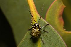Aporocera cf. erosa (Tindo2 - Tim Rudman) Tags: insect beetle 101 chrysomelidae aporocera aporoceracferosa australia tasmania hobart leafeating