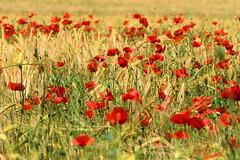 P1110709 (alainazer) Tags: saintmichellobservatoire provence france fiori flowers fleurs fields champs colori colors couleurs coquelicot papavero poppy blé grano wheat