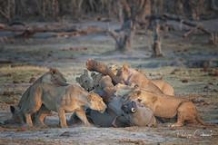 bébé éléphant sans trompe tué par des lions (PHILCABA) Tags: botswana afrique bébé elephant fauve killing lion loxodontaafricana mammifere panthéraléo prédation