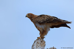 Tawny Eagle (leendert3) Tags: leonmolenaar southafrica krugernationalpark wildlife wilderness wildanimal nature naturereserve naturalhabitat bird eagle tawnyeagle naturethroughthelens