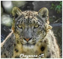 Une belle Panthère 😍 (cheyennemercier) Tags: animal panthère pairidaiza wildlife nikon nikond7500 animaux bestshot panther
