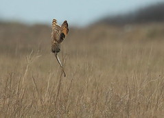Short-eared Owl  (Asio flammeus) Vertical dive. (minvallaa) Tags: hunting owl shorteared dive winter grassland migrant raptor flammeus asio coastal