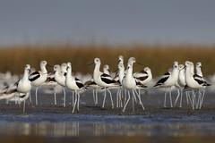 American Avocet (Greg Lavaty Photography) Tags: americanavocet recurvirostraamericana texas november bolivarpeninsula galvestoncounty birdphotography outdoors bird nature wildlife