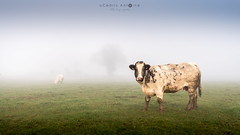 """What the fog?!"" says the cow (cedant1) Tags: dinant belgium belgique belgië falmignoul hastière wallonie wallonia fog foggy mist weather milk mammal cow vache funny animal farm nikon nikond750 afs1635f4 field scenic nature"