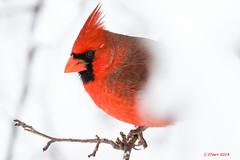 "IMG_4420 ""halfa"" male red cardinal (starc283) Tags: starc283 bird birding birds flickr flicker canon cardinal maleredcardinal nature naturesfinest naturewatcher"
