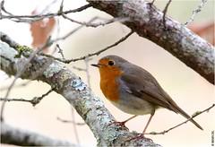 Rouge-gorge (boblecram) Tags: erithacus rubecula robin rougegorge oiseau bird passereau nature