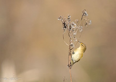 Pouillot véloce (pcaze81) Tags: oiseau domainedesoiseaux ariège sigma150600mmf563oshsmcomtemporary015 canoneos7dmarkii pouillotvéloce mazères occitanie commonchiffchaff passériformes phylloscopidés phylloscopuscollybita bird calmont hautegaronne france