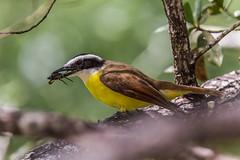 Costa Rica #4 (foto.karlchen) Tags: costarica pitangus