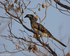 African Grey Hornbill (leendert3) Tags: leonmolenaar southafrica krugernationalpark wildlife wilderness wildanimal nature naturereserve naturalhabitat bird africangreyhornbill naturethroughthelens