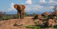 "Of Wind and Water  38W9766 (Dr DAD (Daniel A D'Auria MD)) Tags: elephants africanelephants bushelephants africa kenya amboseli amboselinationalpark tanzania serengeti maasaimara mara mammals wildlife ""largestanimal"" ""largestmammal"" wildlifephotography awardwinning danielad'auriamd"" ""drdadbooks"" ""children'swildlifebooksbydanield'auria"" ""danield'auria"" ""november2019"""