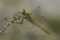 ¡¡FELIZ NAVIDAD!! (Ricardo Menor) Tags: odonatos odonata libélulas dragonfly airelibre iluminaciónnatural male macho machojoven youngmale canoneos60d macrofotografía insecto salinas2019 salinas 2019 sympetrumfonscolombii
