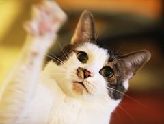 C.ats A.gainst T.rump (kirstiecat) Tags: cat kitty meow caturday catsagainsttrump feline katze chat gato
