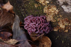 Purple Jelly Discs on  a tree stump.... (favmark1) Tags: fungus mushrooms purplejellydiscs kent winter