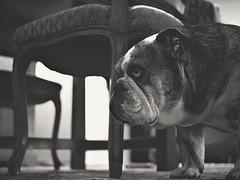 My castle (J.C. Moyer) Tags: blackandwhite dog pet holland cute lumix chair chairs zwartwit sweet thenetherlands hond molly panasonic stoel huisdier lief volendam tafel edam stoelen schattig hh025 lumixgx80 dmcgx80 mollythebritishbulldog mollytheenglishbulldog mollydeengelsebulldog lumix025mm lumix025 mollydebulldog