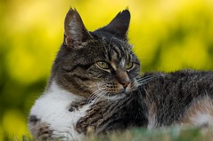 Vintage lens photography (steffos1986) Tags: nature animal cat kitty pet bokeh summer red yellow green white black outside light beautiful vintage manualfocus pentaxkx superyashinonr dslr eyes portrait fineart art
