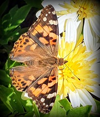 The painted lady of December (Ioannis Ks) Tags: butterfly osteospermum flower garden plant winter nature crete
