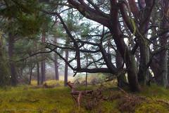 Just a Tree - Darß, Germany (dejott1708) Tags: tree baum dars darserort deutschland germany mecklenburgvorpommern herbst autumn mist nebel regen nass wet rain nature natur