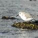 Sanderling foraging on the shore