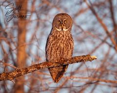 Waiting for the Night... (DTT67) Tags: owl greatgrayowl ggo winter minnesota canon 1dxmkii canon1dxmkii raptor bird nature wildlife