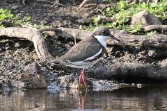 Red-kneed Dotterel (Erythrogonys cinctus) (johnedmond) Tags: baigup wetlands perth westernaustralia red kneed dotterel wader bird wildlife nature eos7d ef100400mmf4556lisiiusm canon