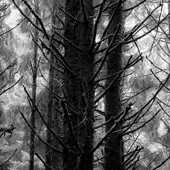In The Pines 007 (noahbw) Tags: d5000 ecolastatepark nikon oregon pnw pacificnorthwest abstract blackwhite blackandwhite branches bw forest light monochrome natural noahbw rainforest spring square tree trees woods