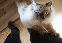 Can I have some love? (Kim's Pics :)) Tags: pippin cat affectionate love pickmeup cute fluffy sweet stretching loveme adorable paws blueeyed lovemuffin puffboy himalayan ragdoll legcrawl givemehugs happyholidays merrychristmas
