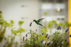 Colibrí (hernanguillermoparedes) Tags: colibri hummingbird bird lavender lavanda flowers flores