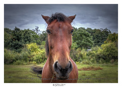 It's Christmas! So why the long face? (Pearce Levrais Photography) Tags: horse portrait animal equis equine landscape face eyes nose long canon 7d markii hdr outside outdoor nature tree forest field farm sky cloud