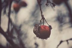 memories (***étoile filante***) Tags: apple apfel drops tropfen regentropfen raindrops winter beautiful beauté beauty schönheit melancholy melancholisch melancholie memory erinnerung nature natur tree baum bokehlicious bokeh sonyilce6000 licht light life leben dezember december