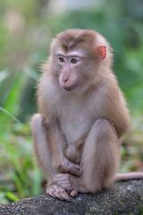 Little Monkey (fredMin) Tags: danang singe vietnam wild fujinon xt2 fujifilm cute monkey animal