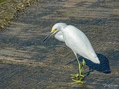 🇺🇸 Snowy egret KW 0242 (vickyoutenphoto) Tags: vickyouten snowyegret egret wildlife nature nikon nikond7200 nikkor55300mm keywest florida usa