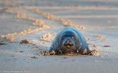 Making My Way Up the Beach (Mister-Tee) Tags: winterton wintertononsea norfolk seal greyseal juvenilegreyseal marine sea coast nikon nikond750