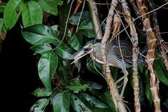 Butorides striata (mazama973) Tags: bird oiseau frenchguiana guyane guyanefrançaise ardeidae butoridesstriata héronstrié striatedheron