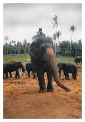Pinnawela CL - Pinnawela Elephant Orphanage 05 (Daniel Mennerich) Tags: rollfilm fotografischerfilm analogphoto analogkamera плёночныйфотоаппарат photographicfilm srilanka ශ්රීලංකා இலங்கை
