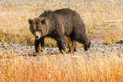 A walk on the wild side (ChicagoBob46) Tags: grizz grizzly grizzlybear bear boar yellowstone yellowstonenationalpark nature wildlife coth5 ngc npc naturethroughthelens