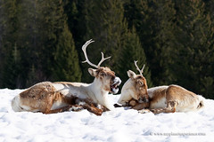 Santa Claus's reindeer ! (My Planet Experience) Tags: merry christmas two reindeer rangifertarandus deer caribou winter snow forest mammal animal nature natural wild wildlife nopeople day color outdoors horizontal rovaniemi finland specanimal specanimalphotooftheday