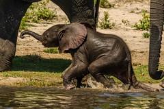 Elephant cuteness... (lyn.f) Tags: elephant baby loxodontaafricana water waterislife nature naturelover choberiver chobemagic botswana botswanamagic ilovebotswana nikon africa safari pangolinphotosafaris