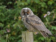 Long-eared Owl (KHR Images) Tags: longearedowl long eared owl leo juvenile wild bird birdofprey asiootus cambridgeshire fens wildlife nature nikon d500 kevinrobson khrimages