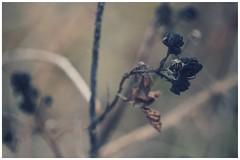 warm black beauty (***étoile filante***) Tags: sonyilce6000 plant pflanze wiese meadow black schwarz beautiful beauty beauté schönheit natur nature winter december dezember bokehlicious bokeh dof