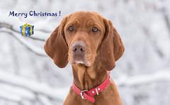 Merry Christmas ! 🎄 🎁 (Torok_Bea) Tags: merrychristmas christmas dogs dog mydog lovely nikon wonderful awesome amazing animals snow home mydogs bodogkarácsonyt portre portrait vizsla vizsladog hungarianvizsla hungariandogs veselévánoce joyeuxnoël καλάχριστούγεννα sretanbožić メリークリスマス 聖誕快樂 froheweihnachten feliznavidad mutlunoeller