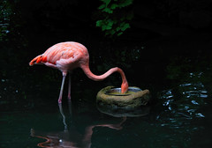 Lunch time (*Millie*) Tags: flamingo eating food water pink orange trees leaves reflection bird zoo bronxzoo newyork tamron18400mmf3563diiivchld canoneosrebelt6i milliecruz