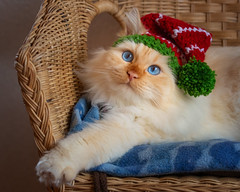 And you are sure that Santa won't drop dead laughing ? (FocusPocus Photography) Tags: tofu dragon katze kater cat weihnachten christmas mütze hat elf