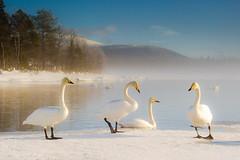 joutsenet /whooper swans (ikkasj) Tags: birds aves anatidae cygnuscygnus anseriformes fåglar linnut whooperswan helmikuu sångsvan laulujoutsen sorsalinnut nature outdoors finland lapland february muonio kutuniva jerisjärvi