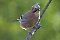 geai des chênes / Garrulus glandarius 19E_9386o (Bernard Fabbro) Tags: geai des chênes eurasian jay oiseau bird garrulus glandarius