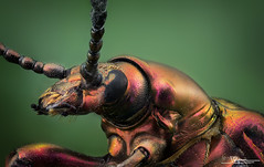 sagra spec (quenoteam) Tags: mitutoyo macro stacking closeup beetle color